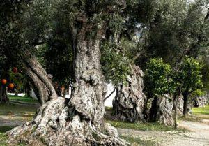 Órgiva y los olivos centenarios