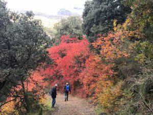Camino Parauta Igualeja con abundantes zumaques rojos junto al camino