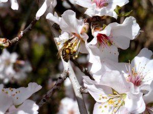 Polinizacion de un almendro por una abeja en La Contraviesa