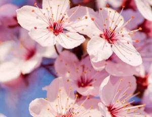 Ruta de los cerezos en flor en Torres @ Torres
